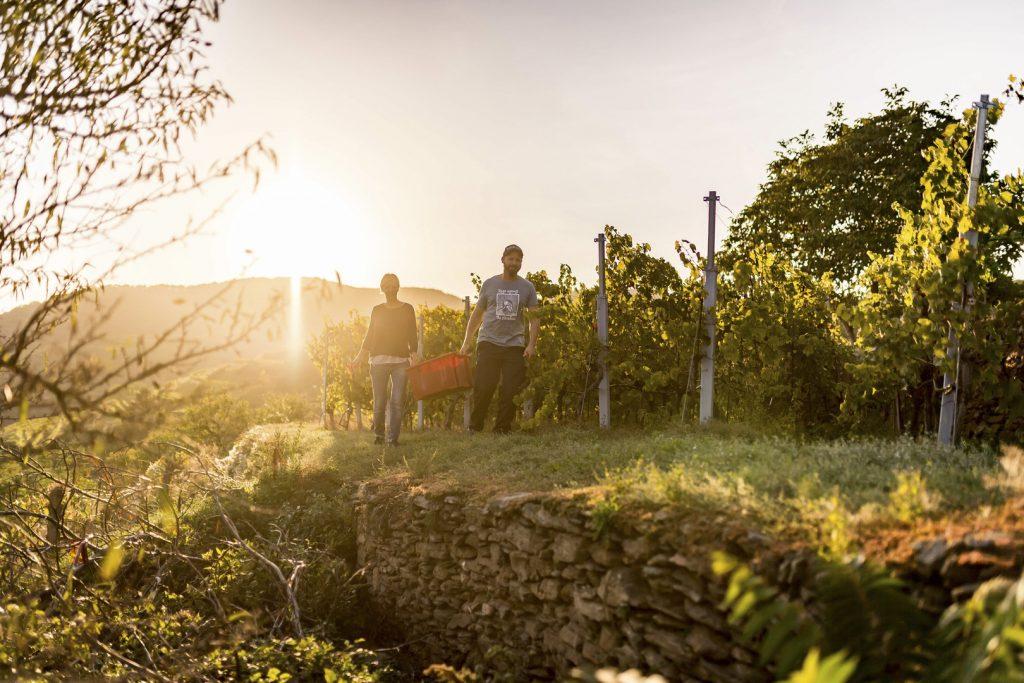 Weinlese in der Wachau (c) Niederösterreich Werbung/ Robert Herbst